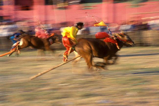 Bull races on Madura.